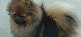 Pomeranians are a great choice if space is limited