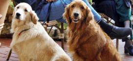 Golden Retrievers make great pets