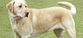 Labrador Retrievers are The Most Popular Breed