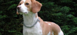 The Beagle:  A happy dog that makes a great family pet