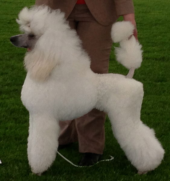 Poodles Are Very Intelligent Dogs