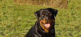 The Rottweiler – No 9 in Popularity