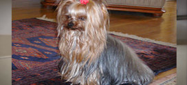 The Yorkshire Terrier is Number 6 in Popularity
