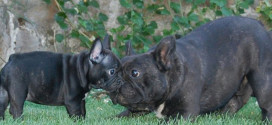 Breed:  #14:  French Bulldogs