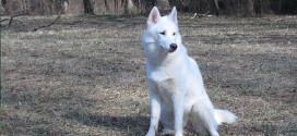 Breed #16 Siberian Huskies