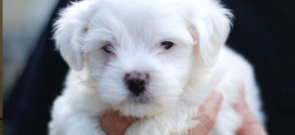 Breed #25 The Lively and Lovable Maltese