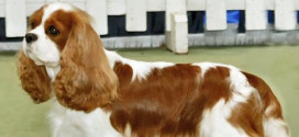 The Small, Adorable Toy Breed, Cavalier King Charles Spaniel