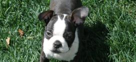 Boston Terrier, America's GentleMan