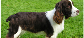 English Springer Spaniels are friendly and eager to please