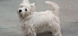 West Highland White Terriers, White, Fluffy, Modern Breeds