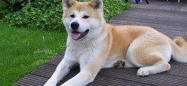 The Large, Japanese Spitz, Akitas