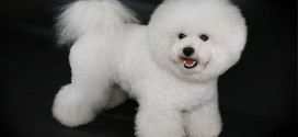 The Popular, sophisticated dogs, Bichon Frisé