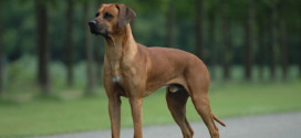 The South African Hunting Dogs, Rhodesian Ridgebacks