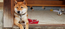 Shiba Inu, The Smallest Spitz from Japan