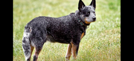 Australian Cattle Dog, herding dogs from Australia