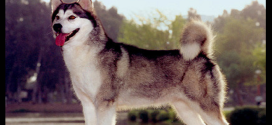 Alaskan Malamute, the Alaskan Sled Dog