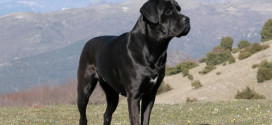 Cane Corso, the Italian Mastiff