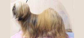 Lhasa Apso, The Wooly Tibetan Dog
