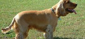 English Cocker Spaniel, the good-natured, sporting dog