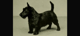 Scottish Terrier, the Small Rugged Terriers
