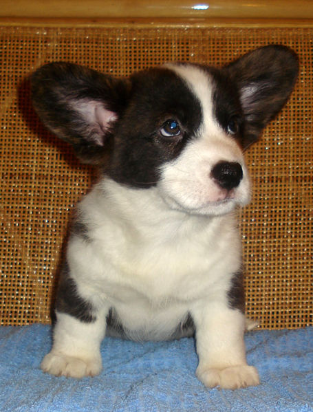 Cardigan Welsh Corgi, the Oldest Herding Breed from Wales ...