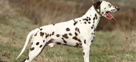 Dalmatian, Spotted Dogs from Dalmatia