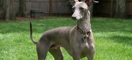 Italian Greyhound, the Smallest Sighthound