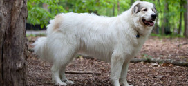 Great Pyrenees, the Huge Mountain Dogs of North America
