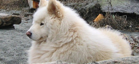 Samoyed, the Smiley Dogs from Siberia