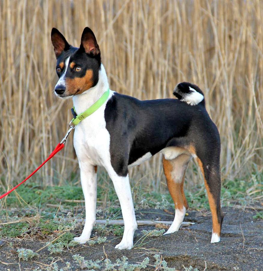Entlebucher Mountain Dog For Sale Ontario