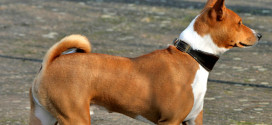 Basenji, the Barkless Dog