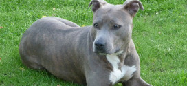 American Staffordshire Terrier, the short-coated American dog breed.