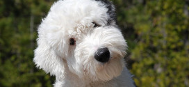 Old English Sheepdog, the Huge Herding Dogs from England