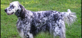 English Setter, the Medium Sized Dogs from the Setter Family