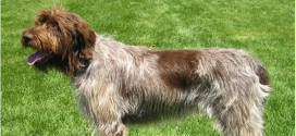 Wirehaired Pointing Griffons, The Hunting Gundogs