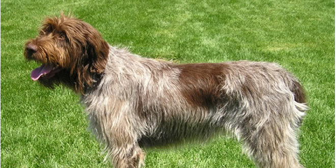 Wirehaired Pointing Griffons, The Hunting Gundogs ...
