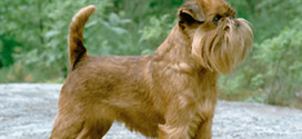 Brussels Griffons, The Toy Dogs from Brussels