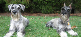 Standard Schnauzer, the Original Breed of Schnauzers
