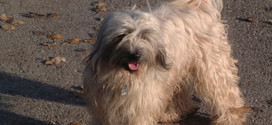 Tibetan Terrier, the Ancient Dog from Tibet