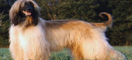 Afghan Hounds, the Fine, Silky Hounds