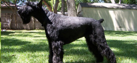 Giant Schnauzers, the Huge Working Dogs from Germany