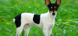 Toy Fox Terrier, the Small Terriers