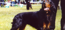 Gordon Setter, The Gamebirds Hunter