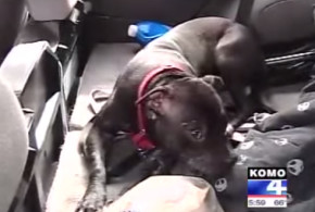 Victor, a rescued pit bull, saves his mom from a carjacker