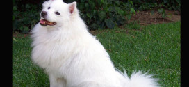 American Eskimo Dogs, The Companion Dogs from Germany