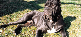 Neapolitan Mastiffs, the Large, Ancient Dogs