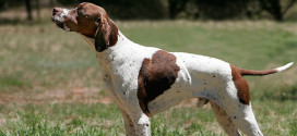 Pointers, The Gun Dogs