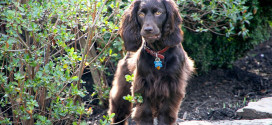 Boykin Spaniels, the Hunter Dogs from South Carolina