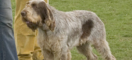 Spinoni Italiani, the Versatile Gun Dog from Italy