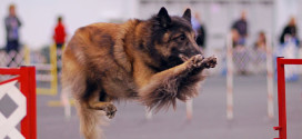 Belgian Tervuren, the Huge Shepherd Dogs from Belgium